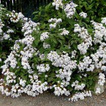Гелиотроп древовидный (Heliotropium arborescens), сорт «Альба» (Alba)