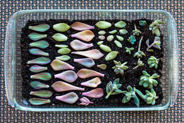 Суккуленты легко выращиваются из листьев