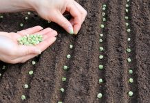 Какие овощи посеять первыми весной в открытый грунт?