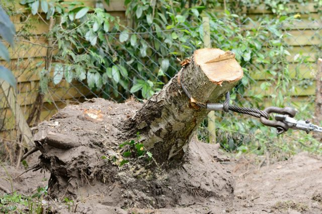 В серьезных случаях срубите дерево и удалите корневую систему