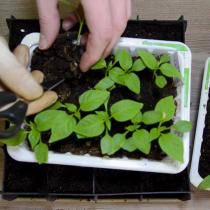 С помощью ножниц, деревянной палочки, пластиковой ложечки или мини-лопатки достаньте саженец из общего лотка с рассадой