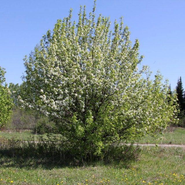 Груша уссурийская (Pyrus ussuriensis)