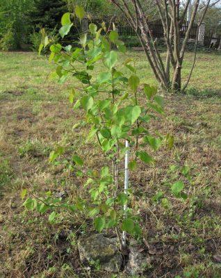 Молодое дерево груши уссурийской