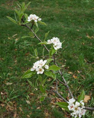 Цветы груши уссурийской