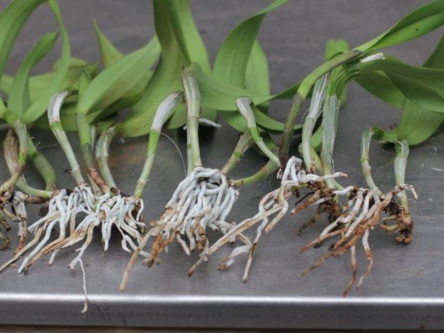 При каждой пересадке симподиальные орхидеи «автоматически» размножаются