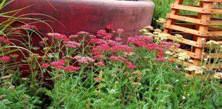 Тысячелистник в дизайне сада — виды и сорта, личный опыт