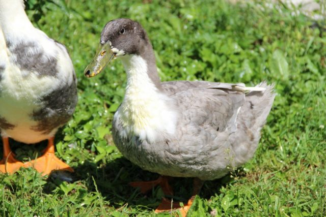 Утки — популярные породы и особенности содержания бройлеров