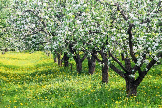 Зачем и как гнуть ветки плодовых деревьев?