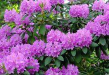 Рододендрон — правила посадки и ухода в открытом грунте