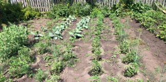 Рассада томатов высаженная в грунт