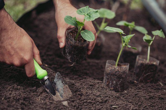 Огурцы для раннего урожая должны нарастить как можно более сильные корни
