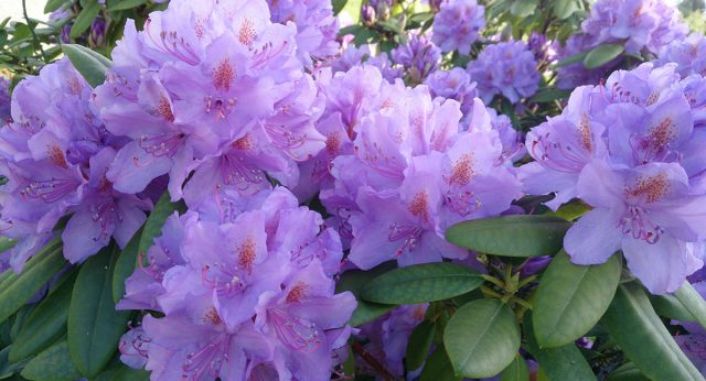Неземные цветы рододендрона украсят любой участок