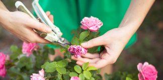 Простые правила ухода за розами