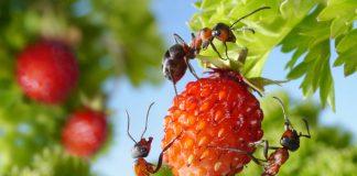 Сила и хитрость «Великого Воина» — муравьи отступают и сдаются