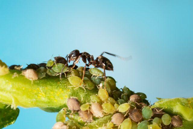 Муравьи и тля работают сообща, лишая растения жизненных сил