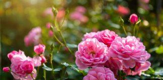 Защищаем розы от грибных болезней