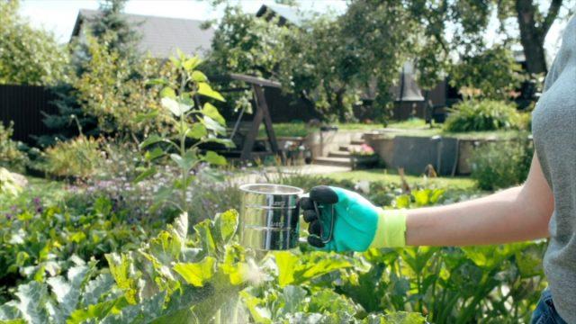 Опыливание растений на участке препаратом в виде порошка