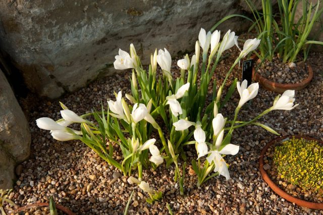 Штернбергия белоснежная (Sternbergia candida)
