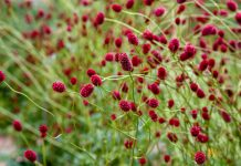 Кровохлебка — не только лекарственное, но и декоративное растение