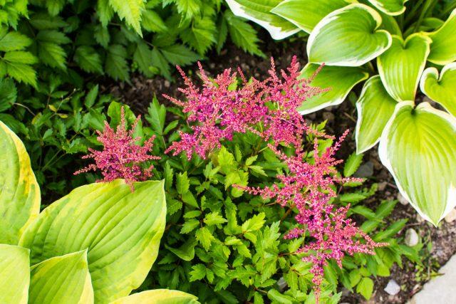 Яркие цветки и резная листва астильбы резко контрастирует с обликом хосты