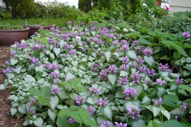 Яснотка— прекрасный почвопокровник, походящий для декорирования края цветника