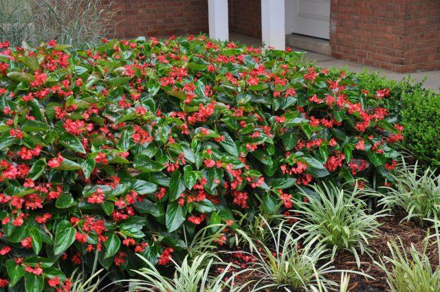 Бегония «Крыло дракона» имеет не только эффектные листья, но и красивые цветки