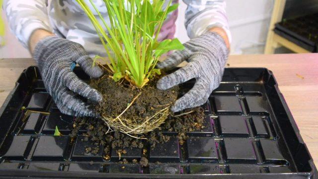 Пересадка спатифиллума: мастер-класс от агронома
