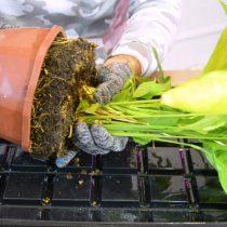Проливаем растение водой комнатной температуры, чтобы проще извлечь его. Удаляем все сухие и желтые листья. Затем извлекаем растение из старого горшка.