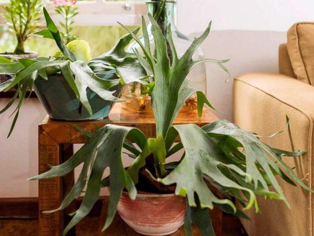 Платицериум — олений папоротник для внимательных цветоводов