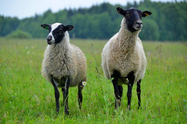 Романовские овцы — особенности породы их содержания