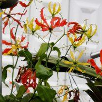 Глориоза роскошная (Gloriosa superba)
