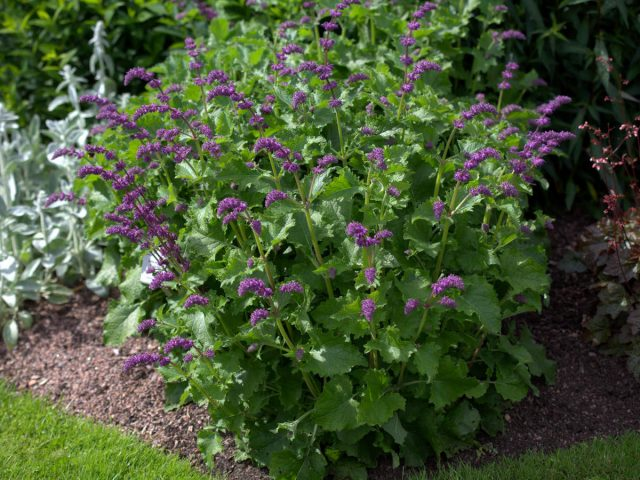 Шалфей мутовчатый (Salvia verticillata), садовая форма «Парпл Рейн» ('Purple Rain')