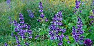 Шалфей мутовчатый — достойное украшение сада природного стиля