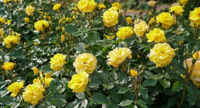 Чем подкормить розы весной?