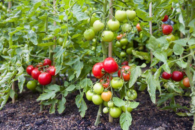 15 секретов выращивания томатов в открытом грунте