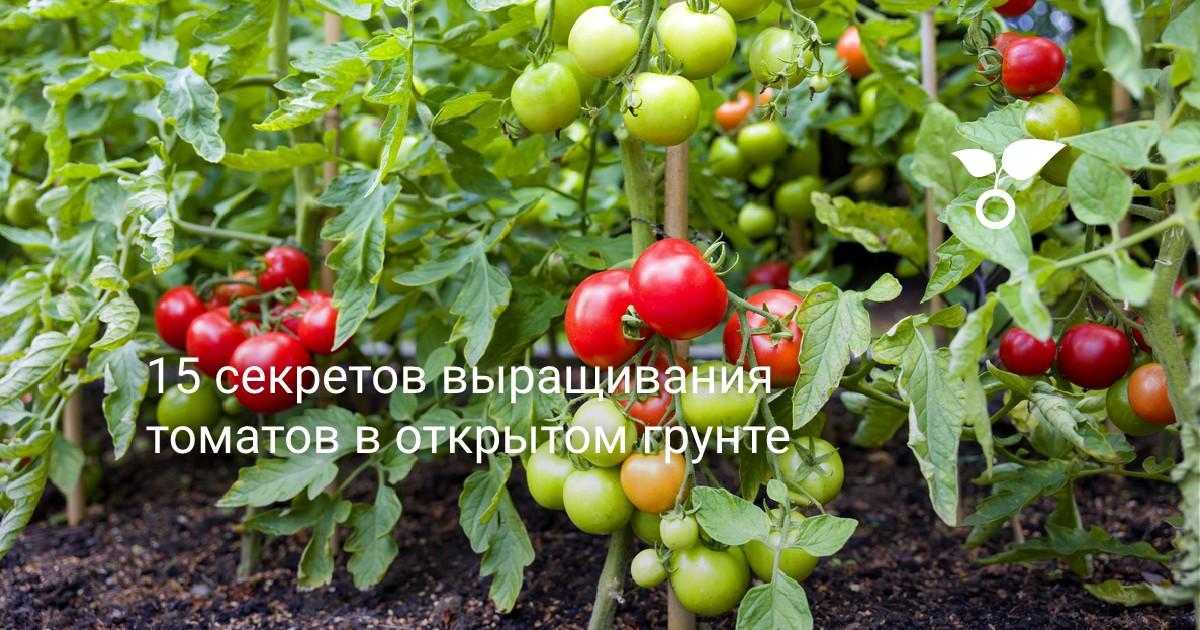 режим полива томатов в открытом грунте