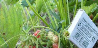 Самое главное клубника еще росла до глубокой осени и давала крупные плоды
