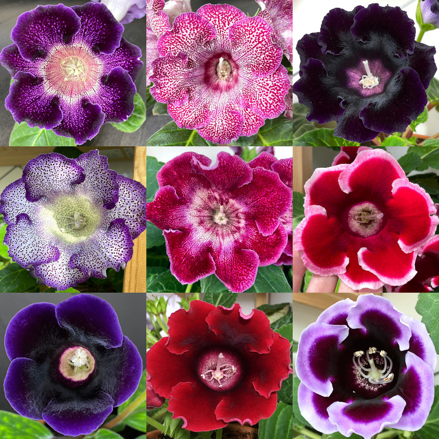 Глоксинии Пурпурного Дождя
