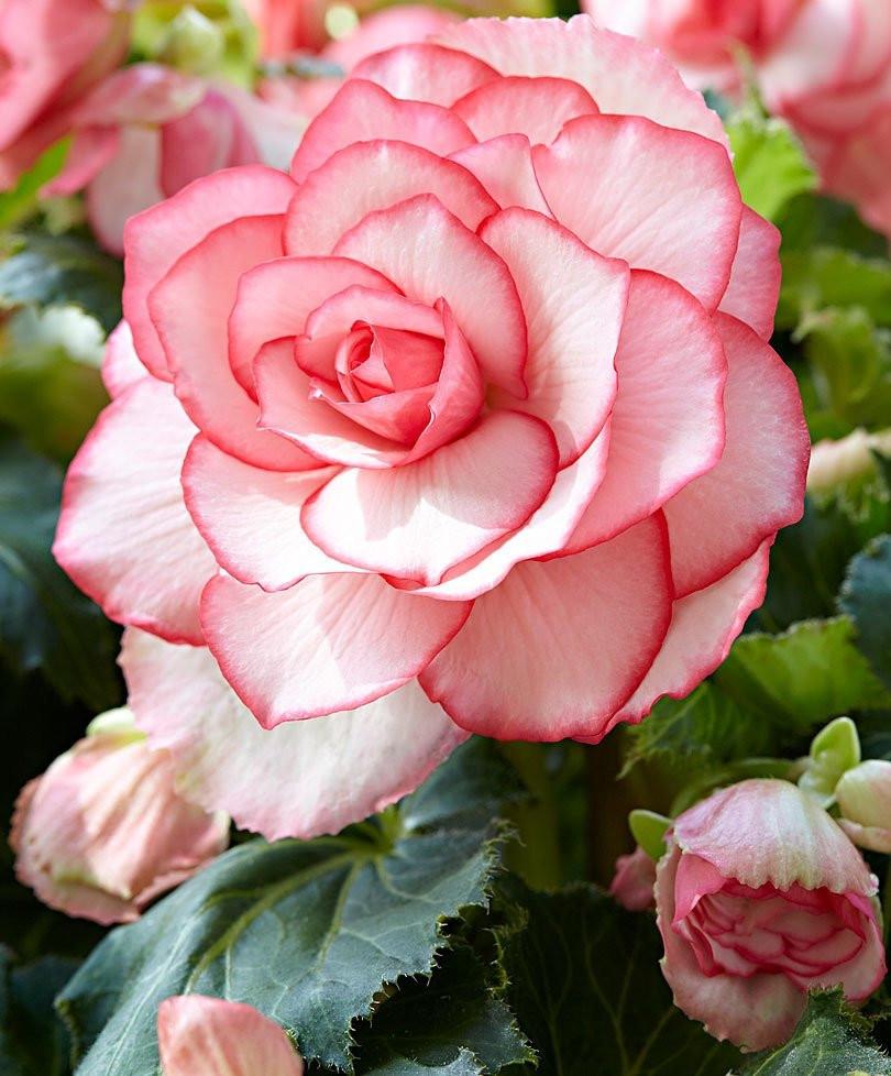 Бегония клубневая «Бутон де Роз» (Begonia Tuberhybrida 'Bouton de Rose')