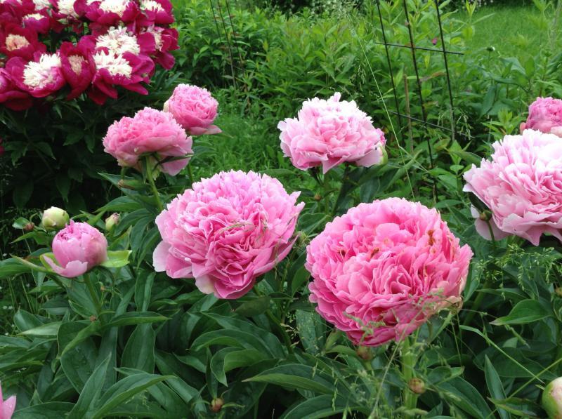 Пион молочноцветковый «Дрезден Пинк» (Paeonia lactiflora 'Dresden Pink')