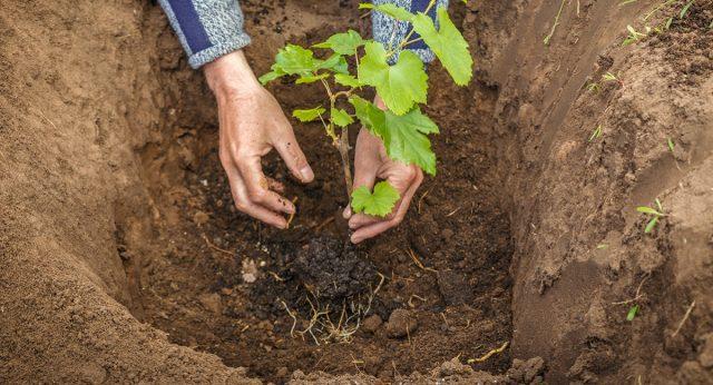 Как сажать виноград весной — правила для начинающих