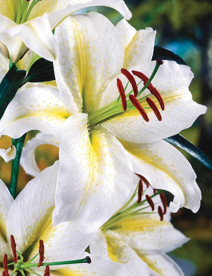 Лилия восточная «Баферрари» (Lilium oriental hybrids 'Bafferari')