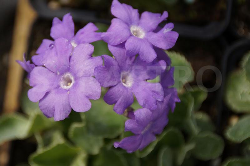 Примула окаймленная «Притчардс Вераити» (Primula marginata 'Prichard's Variety')