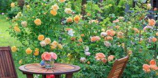 Английские и канадские розы в холодном климате