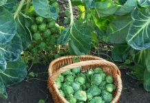 Брюссельская капуста — посадка, уход, сбор урожая