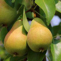 Груша — польза, выращивание, обзор сортов для средней полосы