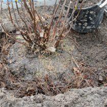 Поместите саженец в посадочную яму и хорошо пролейте водой