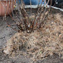 Засыпьте почвой. Сделайте поливочную лунку и пролейте куст водой с разведенной в ней корнестимулирующей подкормкой. Рассыпьте вокруг саженца хвойный опад