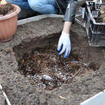 Подготовьте яму, насыпьте на дно хвойный опад, внесите удобрения, затем засыпьте слой компоста