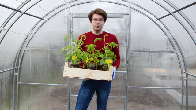 Как пересадить рассаду томатов и перцев в теплицу правильно?